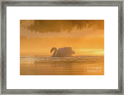Framed Print featuring the photograph Single Mute Swan - Cygnus Olor - On Orange Golden Pond At Sunrise by Paul Farnfield