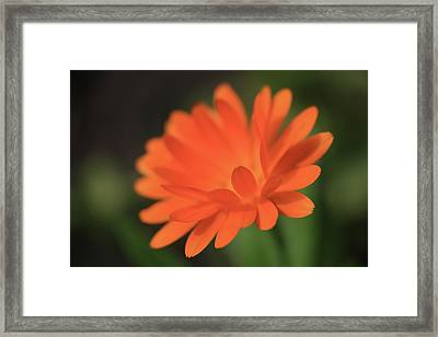 Single Orange Daisy Flower Framed Print