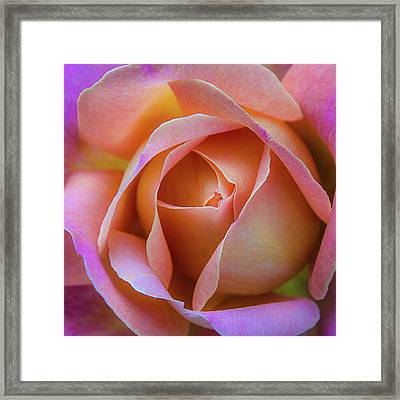 Framed Print featuring the photograph Single Peach Pink Rose by Julie Palencia