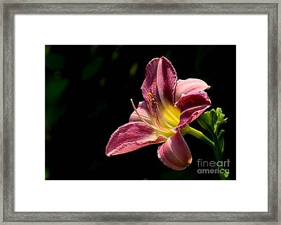 Single Pink Day Lily Framed Print by Kenny Glotfelty