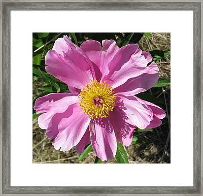 Single Pink Peony Framed Print