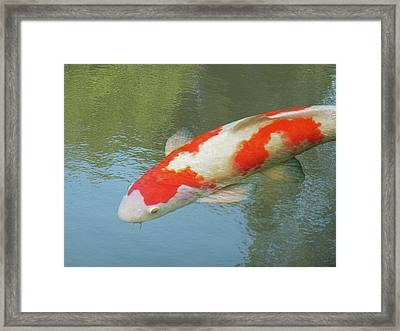 Framed Print featuring the photograph Single Red And White Koi by Gill Billington