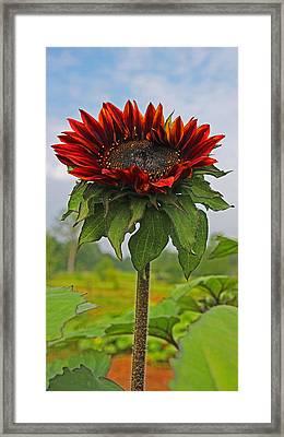Single Red Sunflower Framed Print