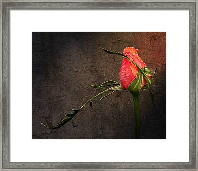 Single Rose Framed Print by Ann Lauwers