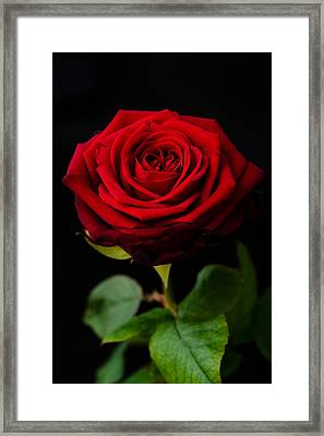 Single Rose Framed Print by Miguel Winterpacht