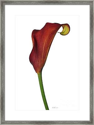 Single Rust Calla Lily Stem Framed Print by Heather Kirk