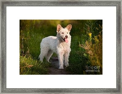 Single Small White Stray Dog In Meadow  Framed Print by Arletta Cwalina