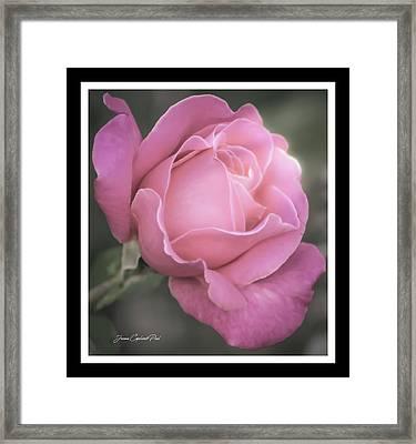 Single Stem Pink Rose Framed Print