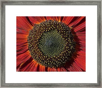 Single Sun Flower Framed Print by Pete Hemington