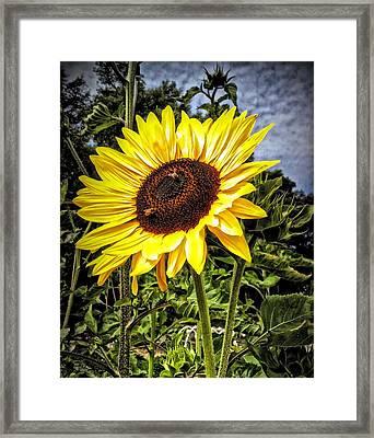 Single Sunflower Framed Print