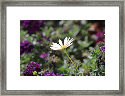 Single White Daisy On Purple Framed Print by Colleen Cornelius