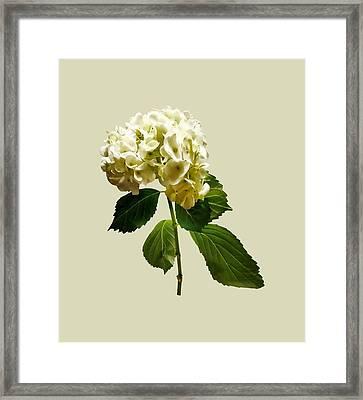 Single White Hydrangea Framed Print by Susan Savad