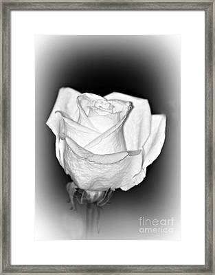 Single White Rose Bw Frost Framed Print