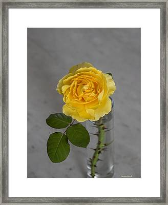 Single Yellow Rose With Thorns Framed Print