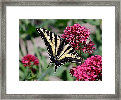 Sippin On Nectar - Swallowtail Framed Print