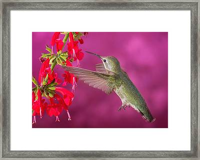 Sipping At The Salvia Framed Print