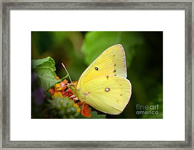 Sipping Nectar Framed Print by Jeannie Burleson