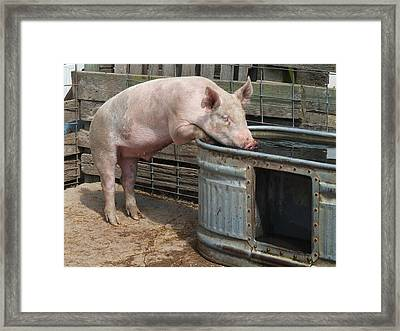 Sipping Pig Framed Print by Scott Kingery