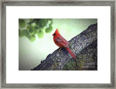 Sir Cardinal Framed Print