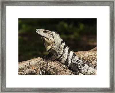 Sir Iguana Mexican Art By Kaylyn Franks Framed Print