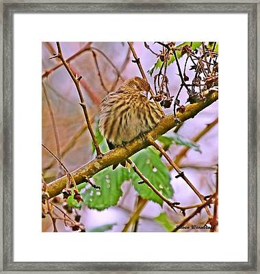 Siskin Paint Framed Print by Steve Warnstaff