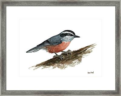 Sitta Canadensis Framed Print by Sean Seal