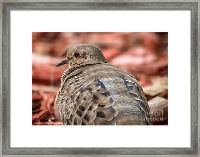 Sitting Pigeon Framed Print