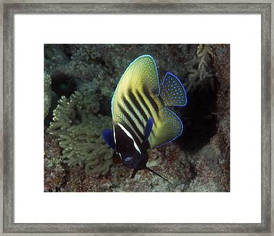 Six Banded Angelfish, Great Barrier Reef Framed Print