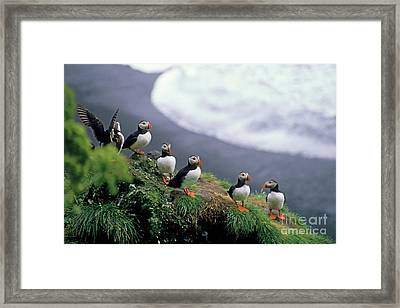 Six Puffins Perched On A Rock Framed Print by Sami Sarkis