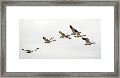 Six Snowgeese Flying Framed Print by Mike Dawson