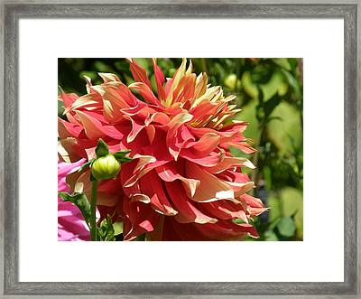 Sizzle Photo Framed Print by Judy Mercer