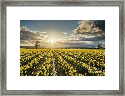 Skagit Daffodils Bright Sunstar Dusk Framed Print by Mike Reid
