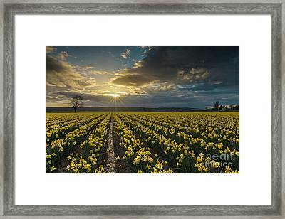 Framed Print featuring the photograph Skagit Daffodils Golden Sunstar Evening by Mike Reid