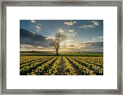 Framed Print featuring the photograph Skagit Daffodils Lone Tree  by Mike Reid