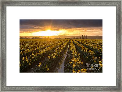 Skagit Valley Daffodils Golden Sunset Light Framed Print by Mike Reid