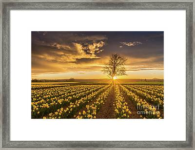 Framed Print featuring the photograph Skagit Valley Daffodils Sunset by Mike Reid