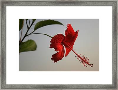 Skc 0450 Vibrant Hibiscus Framed Print