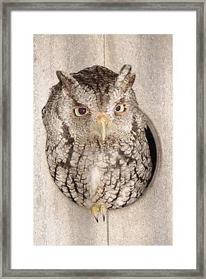 Skreech Owl Framed Print