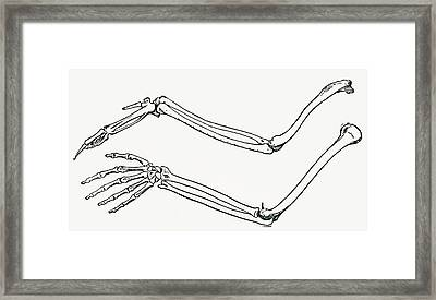 Skeleton Of A Bird S Wing And Of A Man Framed Print by Vintage Design Pics