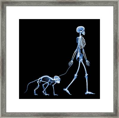 Skeleton Walking A Marmoset, X-ray Framed Print by D. Roberts
