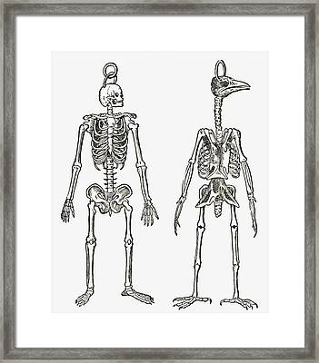Skeletons Of A Man And A Bird Drawn To Framed Print by Vintage Design Pics