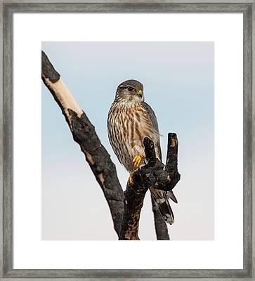 Skeptical Merlin Framed Print by Loree Johnson