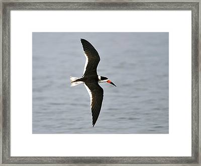 Skimmer In Flight Framed Print by Al Powell Photography USA