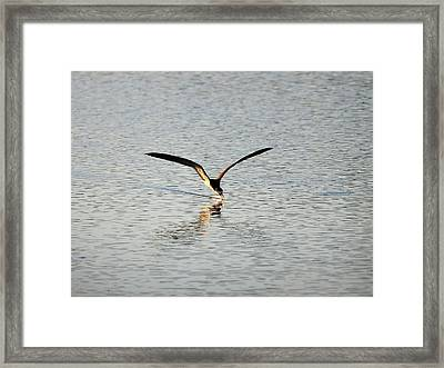 Skimmer Skimming Framed Print by Al Powell Photography USA