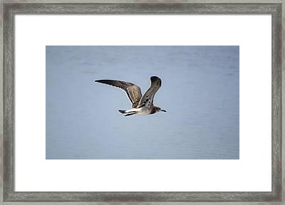 Skimming Seagull Framed Print