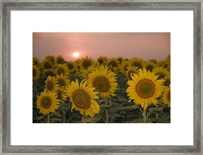 Skn 2178 The Sunflowers At Sunset  Framed Print by Sunil Kapadia