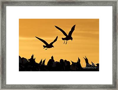 Skuas And Penguins Framed Print by Jean-Louis Klein & Marie-Luce Hubert