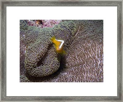 Skunk Clownfish Framed Print by Gary Hughes