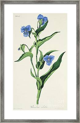 Sky Blue Commelina Framed Print by Margaret Roscoe
