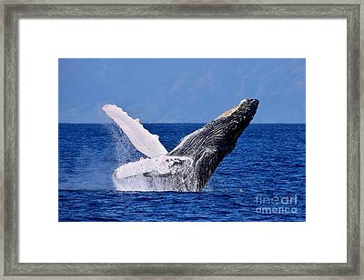 Leaping Humpback Framed Print